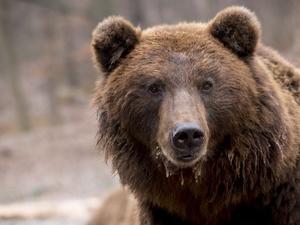 Медведь, который испугал саровчанку, разово посетил окрестности закрытого города