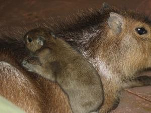 Малыш капибары родился в нижегородском зоопарке