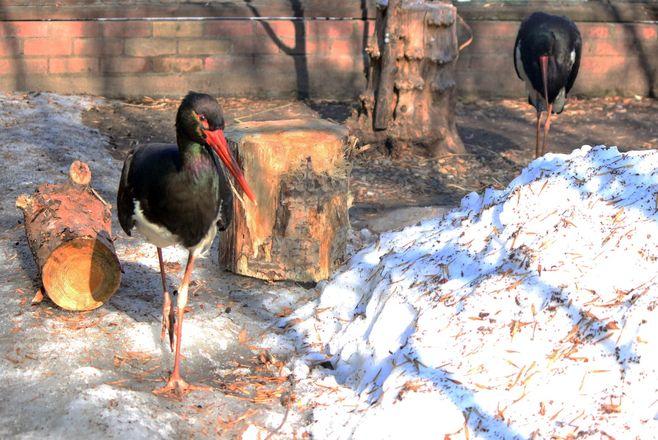 У самки черного аиста в «Лимпопо» появился кавалер - фото 2